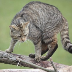 Wildkatze - Foto Thomas Moelich